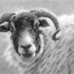 Swaledale_sheep