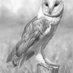 barn_owl7