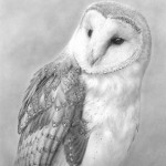 barn_owl_portrait