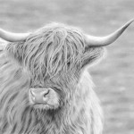 highland_cow