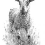 mule_lamb_sheep