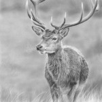 red_deer_stag4